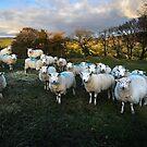Sheep in Appletreewick by Dan Shalloe
