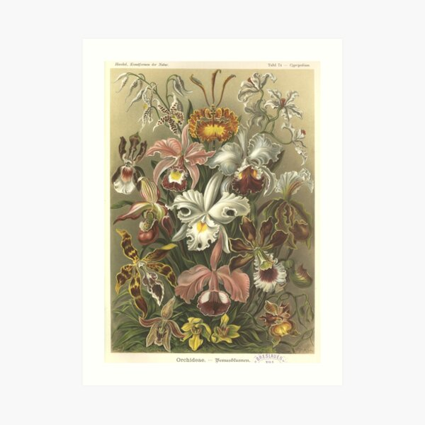 Orchids - Ernst Haeckel Art Print