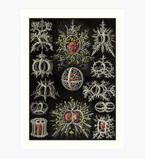 Stephoidea - Ernst Haeckel Art Print