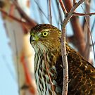 Cooper's Hawk by Rich Summers