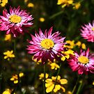 Pink Paper Daisies by Evita