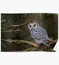 White faced scops owl Poster