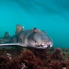 Port Jackson Shark, Montague Island, Australia by Erik Schlogl