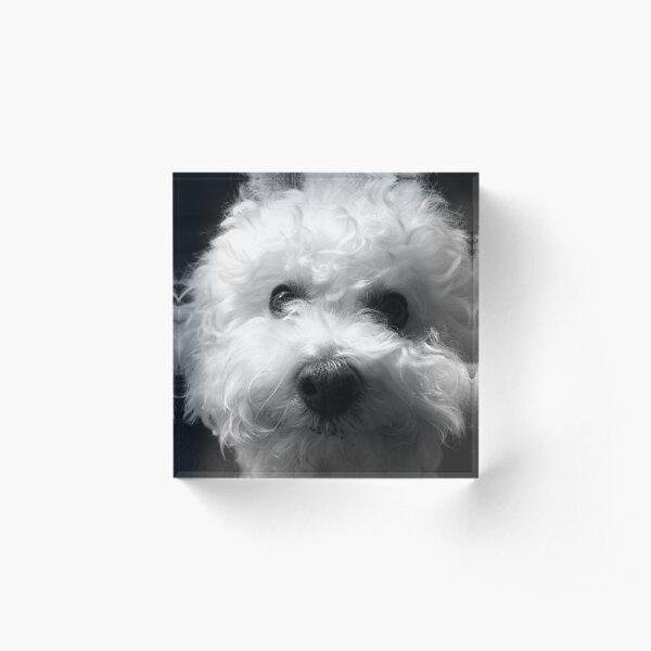 Bichon Frise - Black and White Acrylic Block