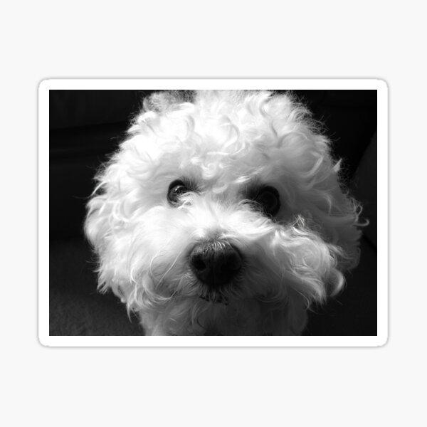 Bichon Frise - Black and White Sticker