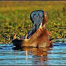 Chobe River Hippo by ten2eight