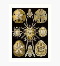Echinidea - Ernst Haeckel  Art Print