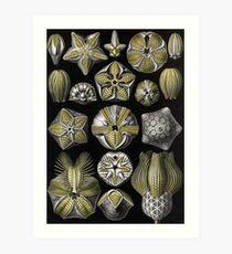Blastoidea - Ernst Haeckel Art Print