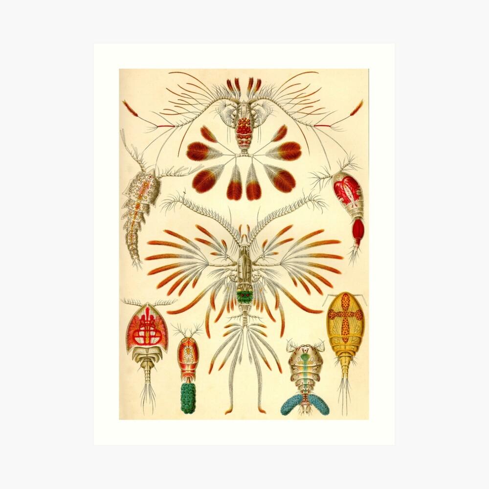 Copepoda - Ernst Haeckel Kunstdruck