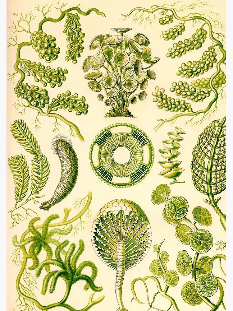 Siphoneae - Ernst Haeckel  by billythekidtees