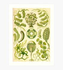 Siphoneae - Ernst Haeckel  Art Print
