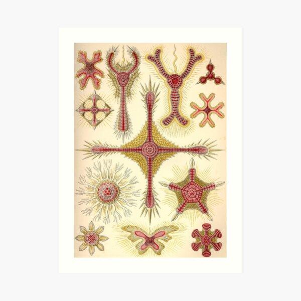 Discoidea - Ernst Haeckel  Art Print