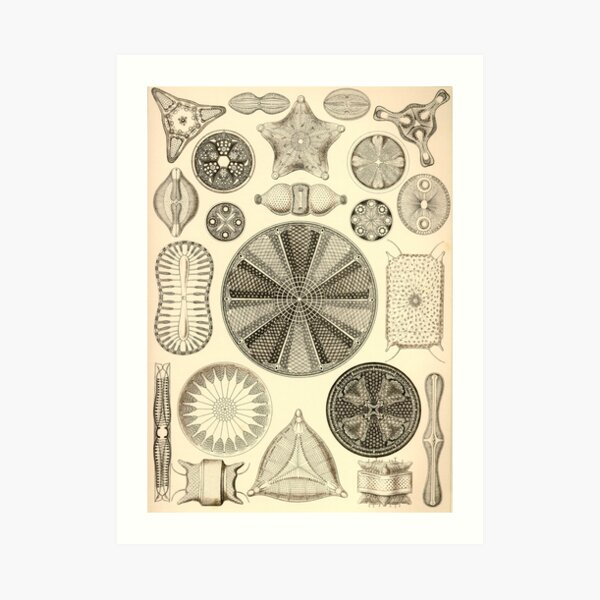 Diatomea - Ernst Haeckel  Art Print