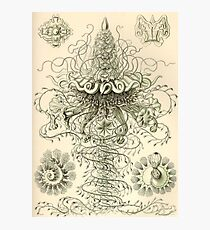 Siphonophorae - Ernst Haeckel  Photographic Print