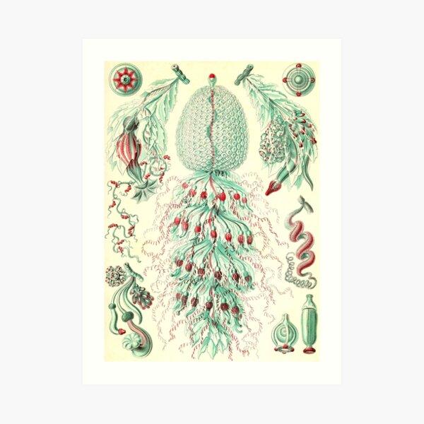 Siphonophorae - Ernst Haeckel  Art Print