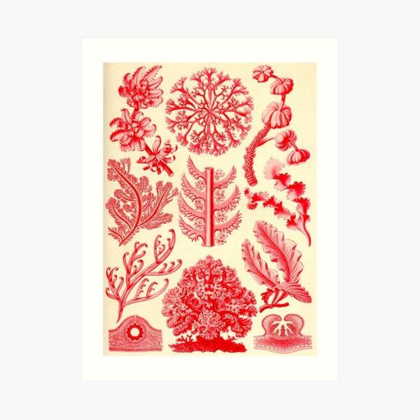 Florideae - Ernst Haeckel  Art Print
