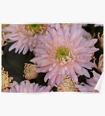 chrysanthemum in the garden Poster