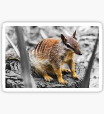 Australian Numbat Sticker