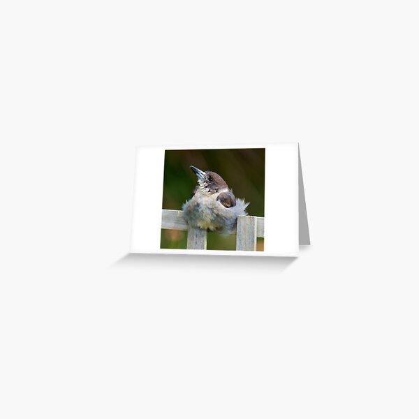 ARTAMIDAE ~ Grey Butcherbird UG8YFUEH by David Irwin ~ WO Greeting Card