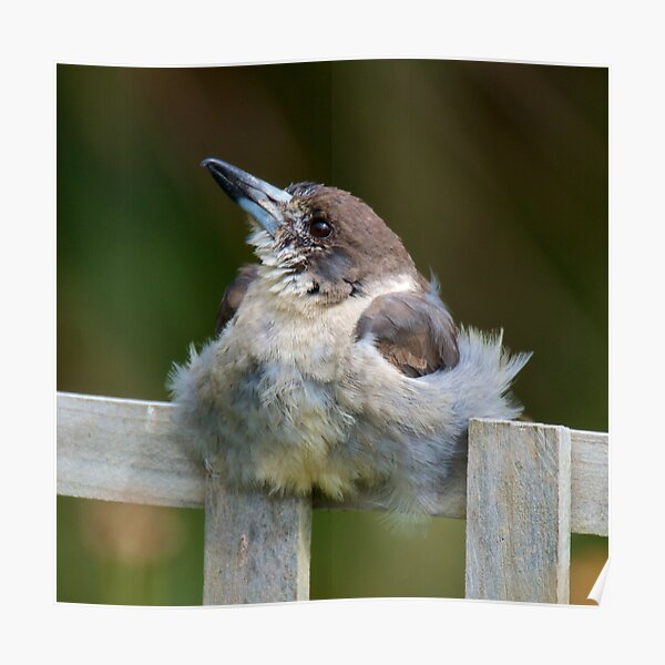 ARTAMIDAE ~ Grey Butcherbird by David Irwin ~ WO Poster