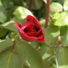 A New Red Bud of lovely Tea Rose  Mr. Lincoln.  by Rita Blom