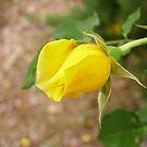 New Bud on Climbing Gold Bunny Rose in the garden. by Rita Blom