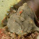Red-Fingered Anglerfish - Sydney, Australia by Andrew Trevor-Jones