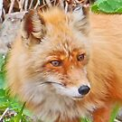 Red Fox watching lunch by Graeme  Hyde