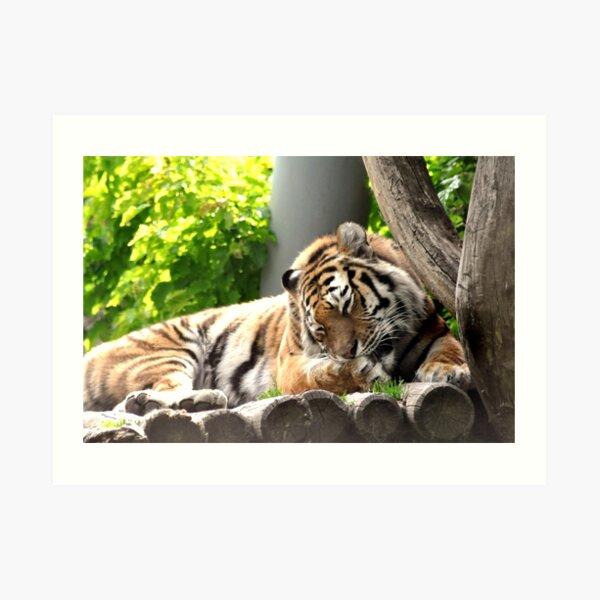 Grooming - bengali tiger Art Print