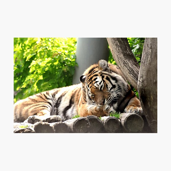 Grooming - bengali tiger Photographic Print
