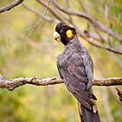 Yellow-tailed Black Cockatoo by Dilshara Hill