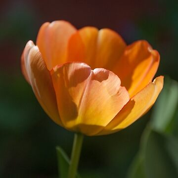 Tulip daydream by GreenNote