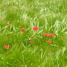 Poppies in Wheat Field by Christine  Wilson