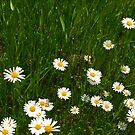 Daisies 2 by Christine  Wilson