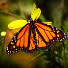 Butterfly In The Garden by K D Graves Photography