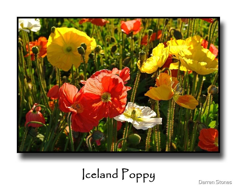 Iceland Poppy by Darren Stones