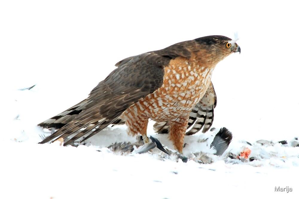 Coopers Hawk by Marija