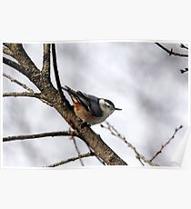 Perched Nuthatch Poster
