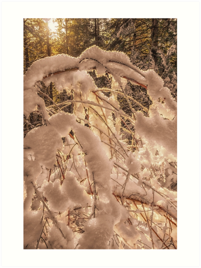 Backlighting sun shines behind snow covered branches by MarniePatchett