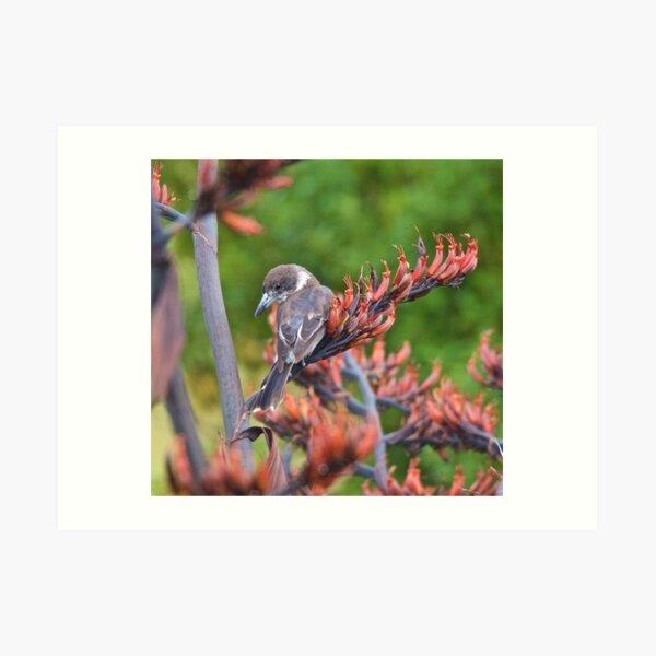 ARTAMIDAE ~ Grey Butcherbird by David Irwin ~ WO Art Print