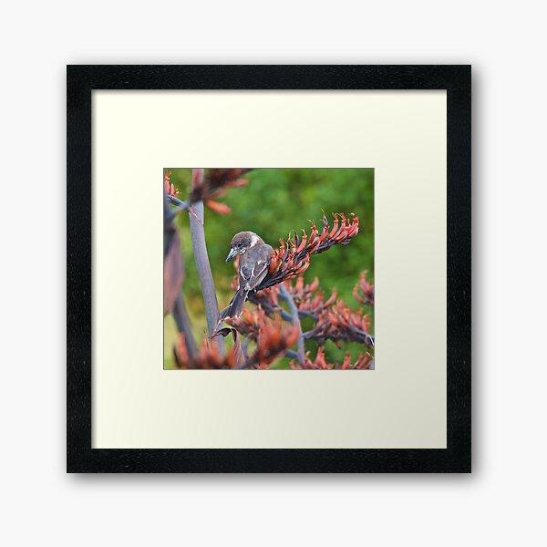 ARTAMIDAE ~ Grey Butcherbird FG73YEM6 by David Irwin ~ WO Framed Art Print