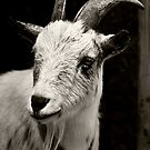 Mr. Goat by K D Graves Photography