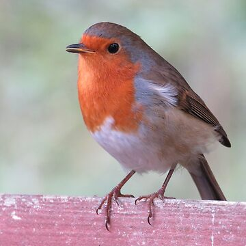 Robin - Erithacus rubecula by Tinyevilpixie1
