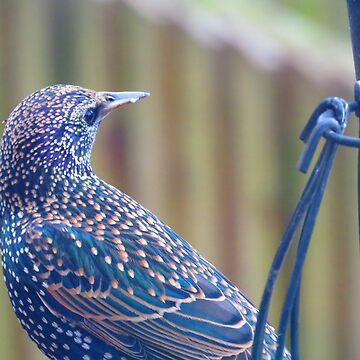 The Lonely Starling - Sturnus vulgaris by Tinyevilpixie1