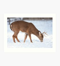 White-tailed deer buck in the winter snow Art Print