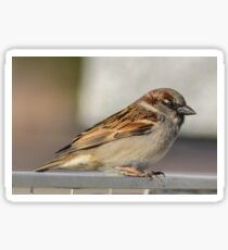 Male Sparrow Sticker