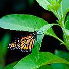 Butterfly resting by Martyn Franklin