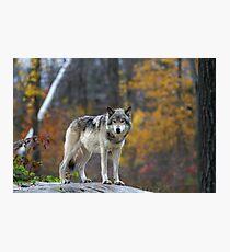 Timber Wolf Photographic Print