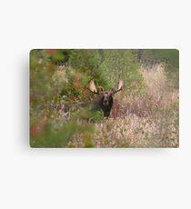 Bull Moose in Algonquin Park, Canada Metal Print