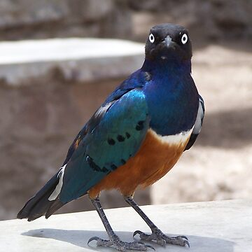 Superb Starling by ladylilith